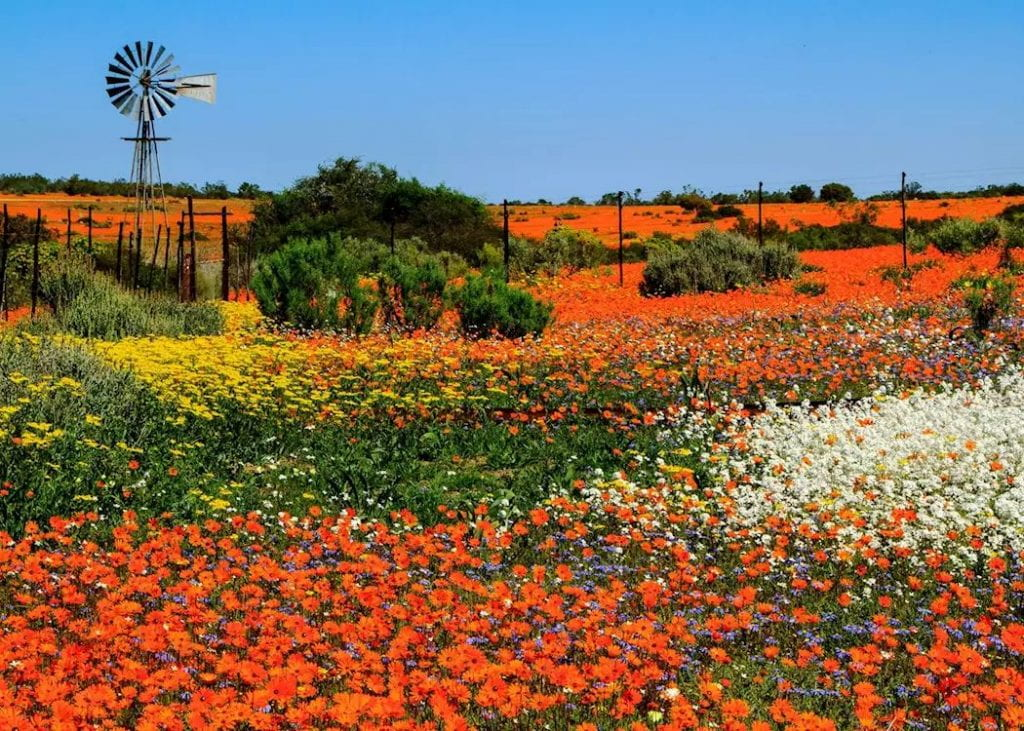 field of Namaqualand flowers in bloom